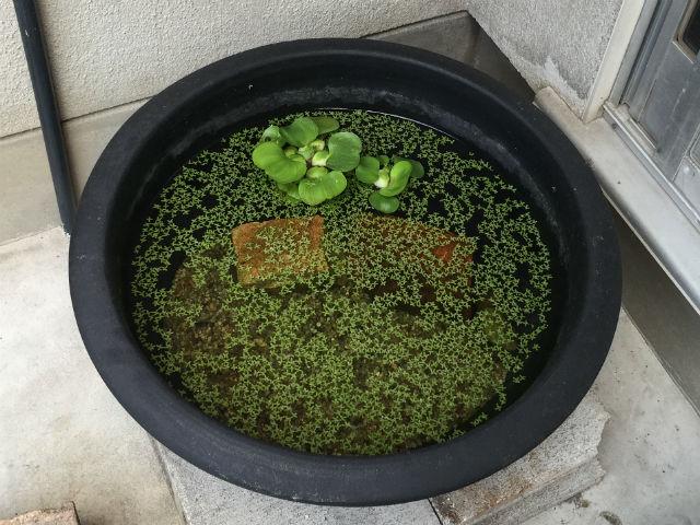 【メダカ鉢】メダカの飼い方